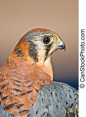 American Kestrel - Close up of a American Kestrel bird