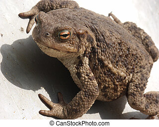 Common toad (Bufo bufo) closeup