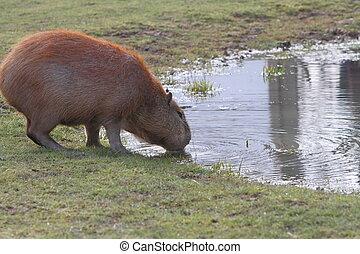 Capybara - capybara