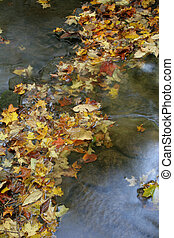 Leaves in a Stream - A bunch of maple leaves in a stream in...
