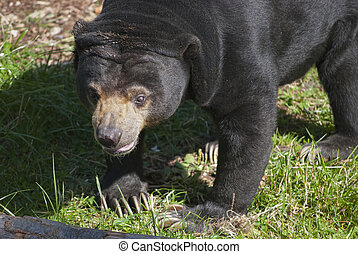 Sun Bear - The sun bear Ursus malayanus, or honey bear, on...