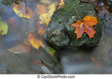 Autumn Leaf on a Rock - A closeup of an orange maple leaf in...