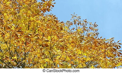 autumn concer tree sky - colorful beautiful autumn conker...