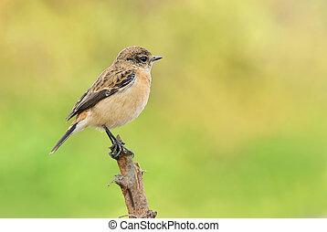 Common Stonechat,Male bird