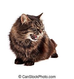 Fluffy hissing cat