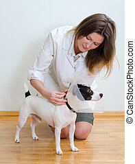 Veterinarian put protective cone to jack russel terrier