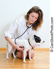 Veterinarian examining jack russell terrier with stethoscope