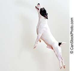 Full-length jack russell terrier in jump