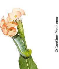 green Caterpillar with flower - green Caterpillar Oleander...