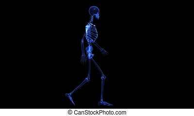 Anatomy: skeleton - The contours of the human skeleton only...