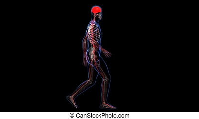 Anatomy: skin, skeleton and nervous - The contours of the...