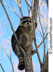 Young Raccoon  - Young raccoon in a tree.