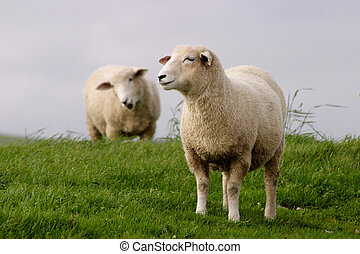 Sheep grazing - Two sheep graze in a field in Sussex,...
