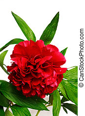 Peony - Red peony paeonia, latin name Paeoniaceae isolated...