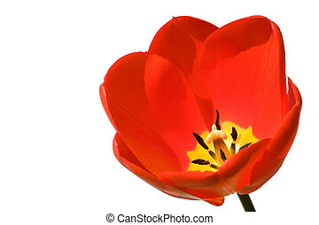 Tulip isolated on white - Tulip isolated against a white...