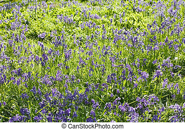 Bluebells - Closeup of a flower bed filled with bluebells