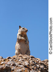 Western gray squirrel in the wild against a blue sky