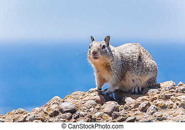Gray squirrel - Western gray squirrel in the wild against a...