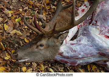 roe deer dead in a fox hunting
