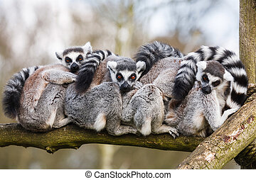 Lemurs hugging - A family of ring-tailed Madagascan lemurs...