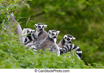 Lemur family - Group of lemurs sit together in natural...
