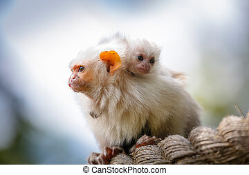 Silvery marmosets mother and baby - Family of silvery...