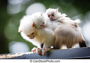 Marmoset family - Baby silvery marmosets hold onto the back...
