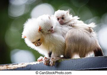 mono tití, familia