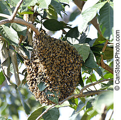 Honey Bee Swarm  - Honeybee Swarm Hanging On A Branch