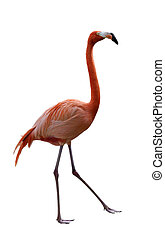 Flamingo Bird Walking On  White Background