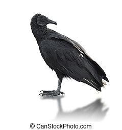 Black vulture (Coragyps atratus),On White Background