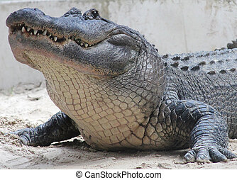 American Alligator in Florida - American Alligator in The...