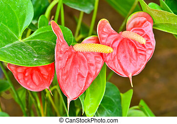 red anthurium andreanum