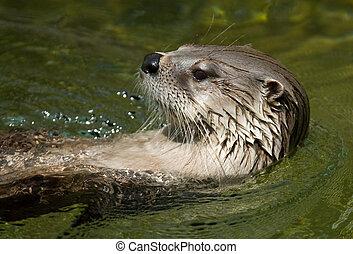 natación, nutria