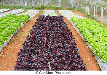 Red and green leaf lettuce growing in a garden