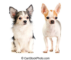 Two Chihuahua long-haired and short-haired - long-haired and...