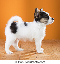 Papillon Puppy standing on a orange background Side view