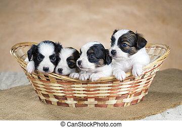 Four little Papillon puppy in a wicker basket