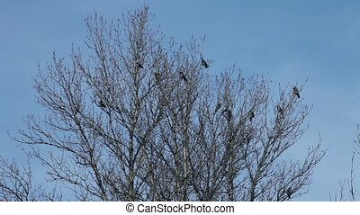 crows in a tree      - flock of crows in a tree