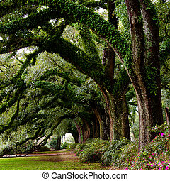 Line of ancient oak trees
