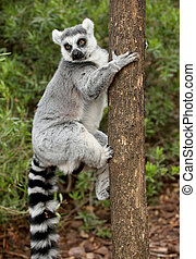 Lemur - Picture of a beautiful lemur over a tree