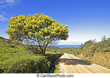 Blossoming mimosa tree in springtime in Portugal -...