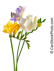 White and yellow and purple freesia flowers
