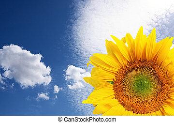 藍色, 天空, 向日葵