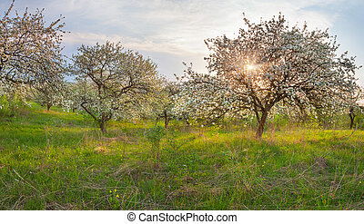Blooming apple trees in the garden. Spring sunset.