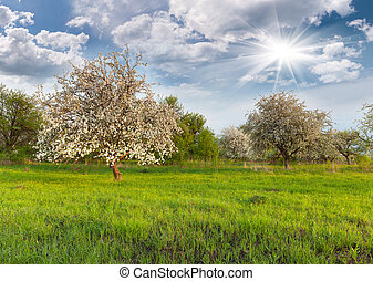 Blooming apple trees in the garden at spring