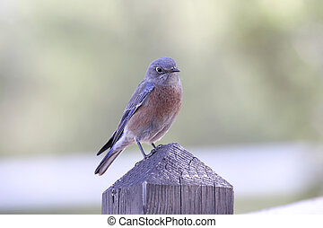 Western Bluebird Sialia Mexicana on a post