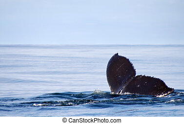 humpback whale lat Megaptera novaeangliae Commander Islands...