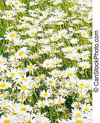 ox-eye daisies field - Beautiful summer flower on green...