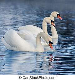 Floating in the water swans - Floating in the water a...